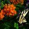 Flutter Butterflies-Members only!