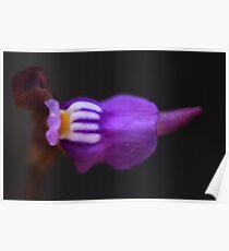 Utricularia caerulea Poster