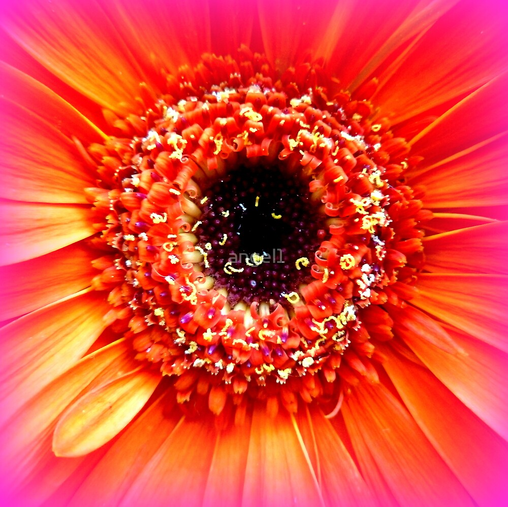 Gerbera in orange and pink by ©The Creative  Minds