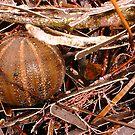 Brown Urchin by robertemerald