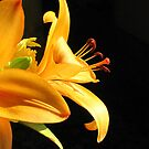 Bellezza del mondo ......... un giglio by Brenda Dow