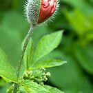 Oriental Poppy by ilpo laurila