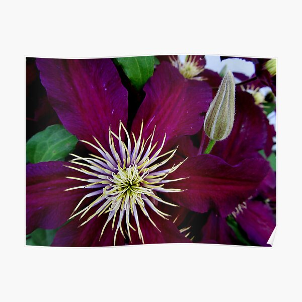 Clematis Bloom in CT Poster