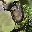 Night Heron with his Catch by Paulette1021