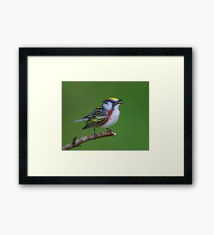 Chestnut sided warbler Framed Print