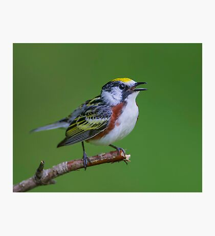 Chestnut sided warbler Photographic Print