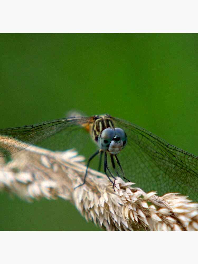 Blue Dasher Dragonfly by mark-bugs-org