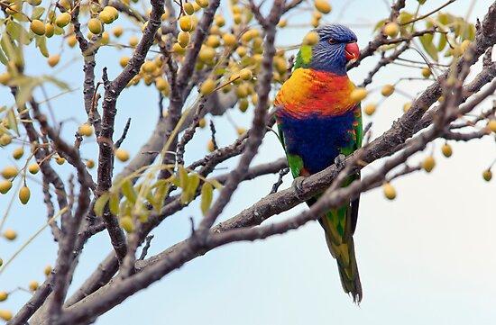 Rainbow Lorikeet by SD Smart
