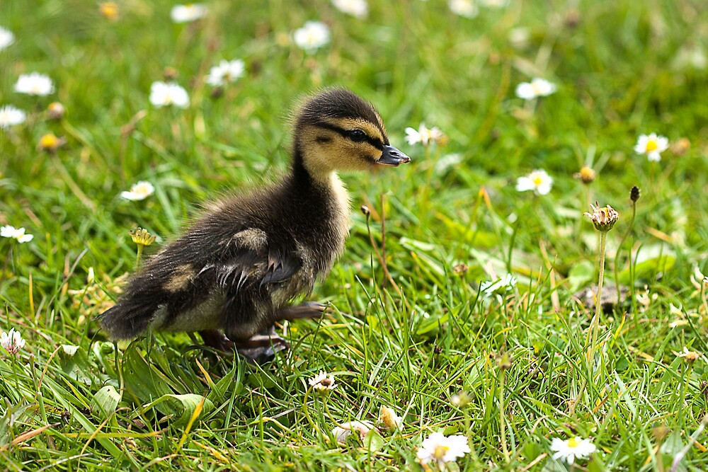 Duckling by Ashley Beolens