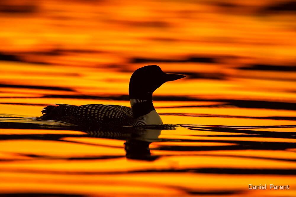 Loon at Sunrise by Daniel  Parent