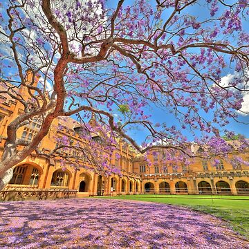 Jacaranda at the University of Sydney by RodKashubin