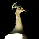 White Peacock by Kerry Loggins