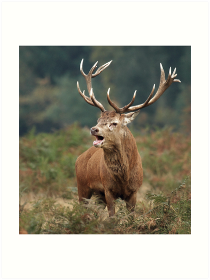 Bellowing Red Stag by Patricia Jacobs DPAGB LRPS BPE4
