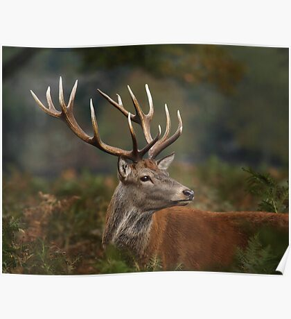 Majestic Red Deer Poster