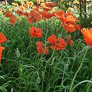 Poppies by Lisa Sall