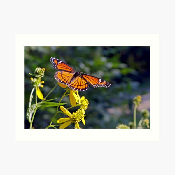 Viceroy Butterfly on Tickseed Art Print