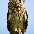 Short-eared Owl profile by amontanaview