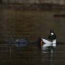 Common Goldeneye by Wayne Wood