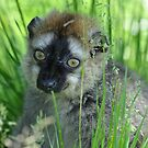 Lemur in the Grass by ApeArt