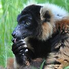 Lemur Lick by ApeArt