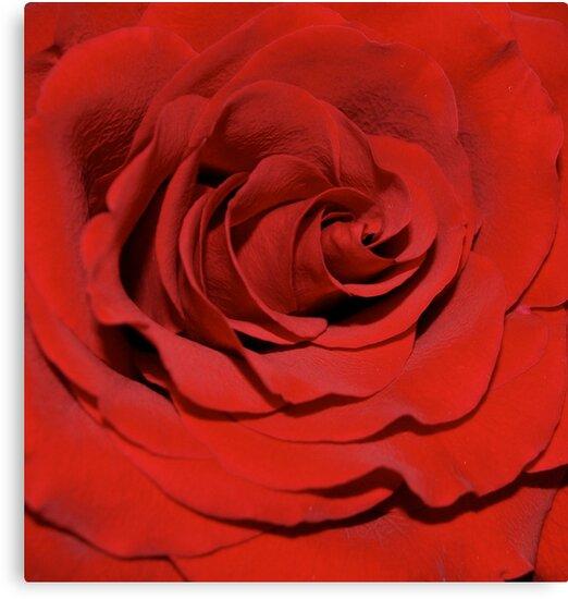 Beautiful Red Rose by Dee Dashwood
