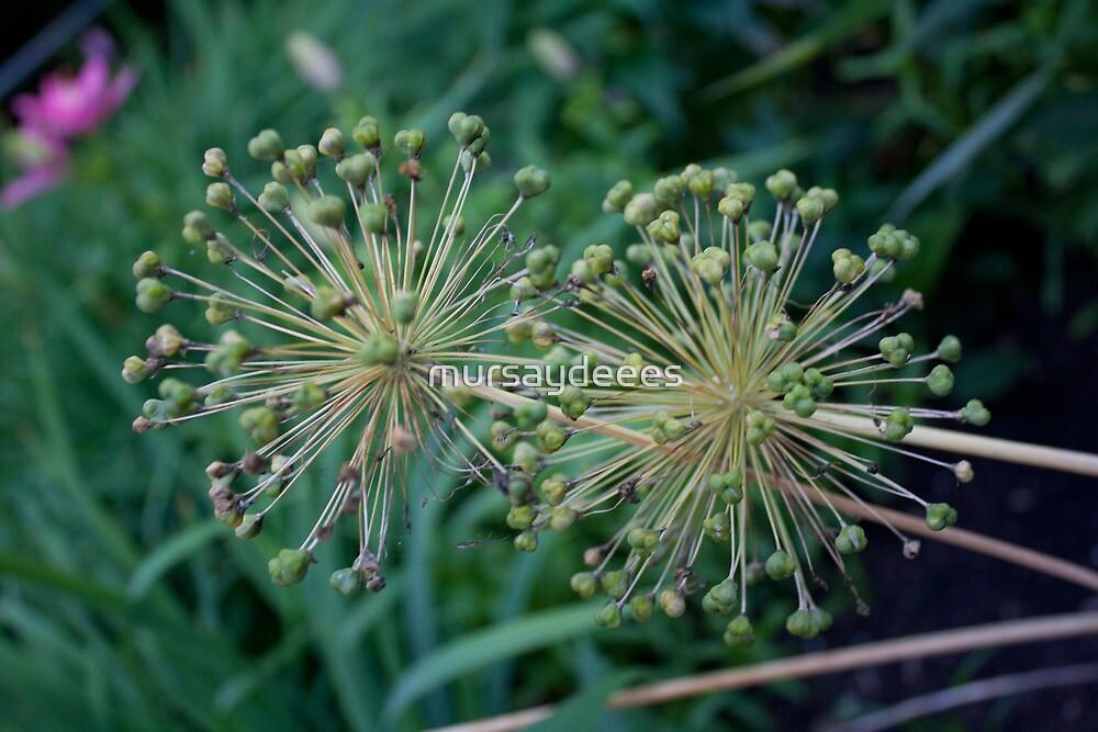 Allium- Post Flower by mursaydeees