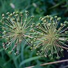 Allium- Post Flower by mursaydeees