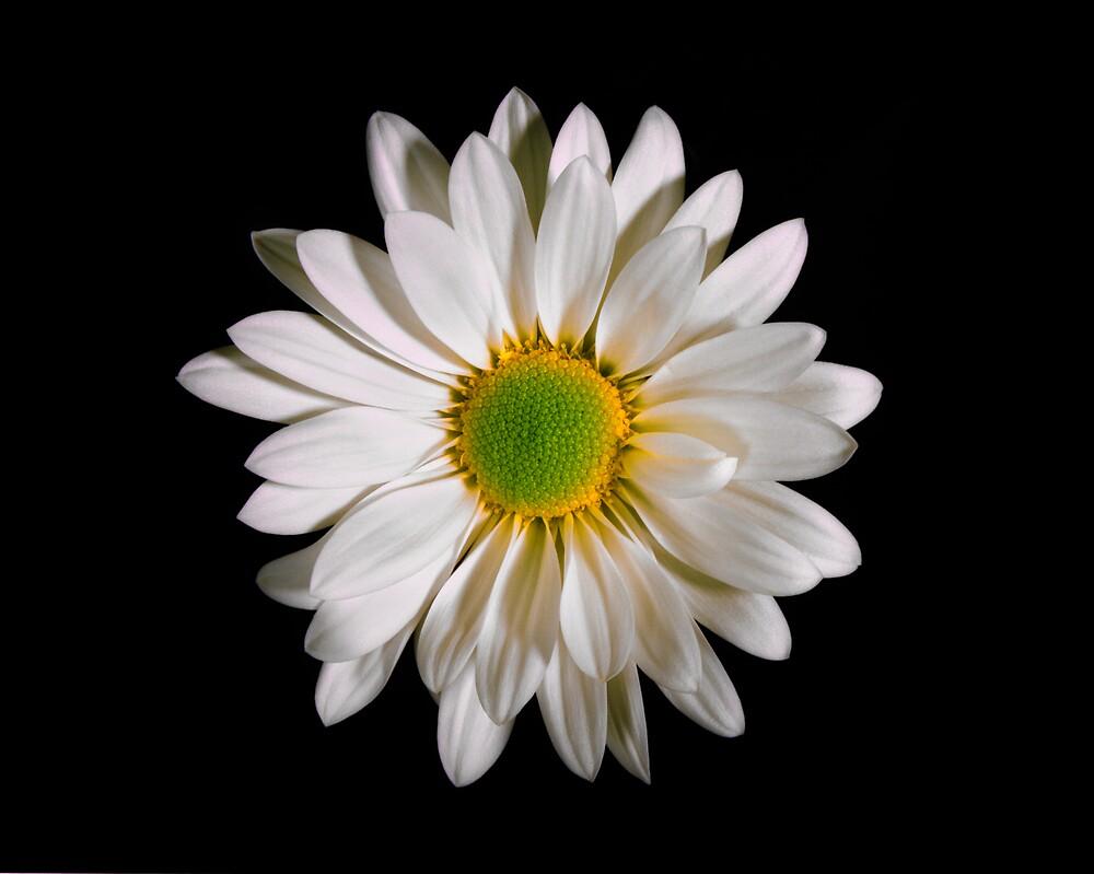 White Daisy Portrait. by chris kusik