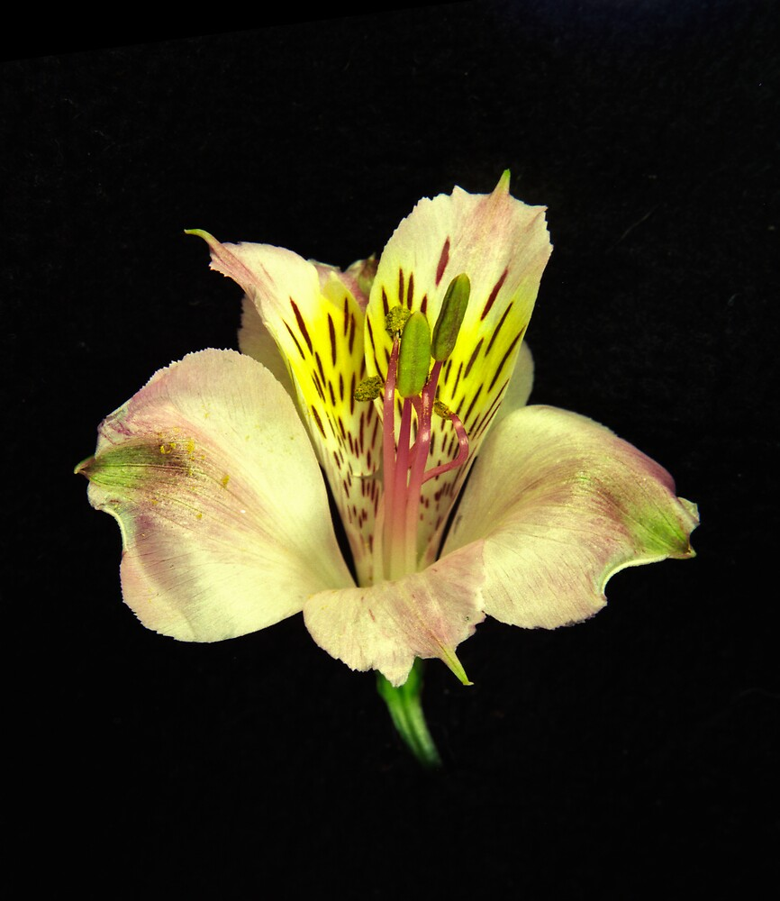 Yellow Peruvian Lily Portrait #2. by chris kusik