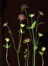 Astrantia by Barbara Wyeth