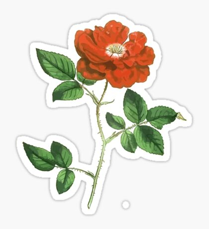 Vintage Red Rose Isolated on White Sticker