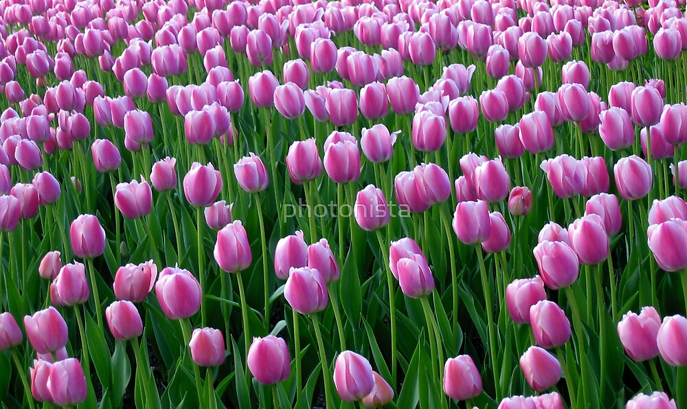Tulips 14 by photonista