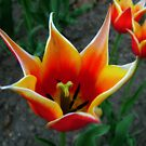 Tulips 4 by photonista