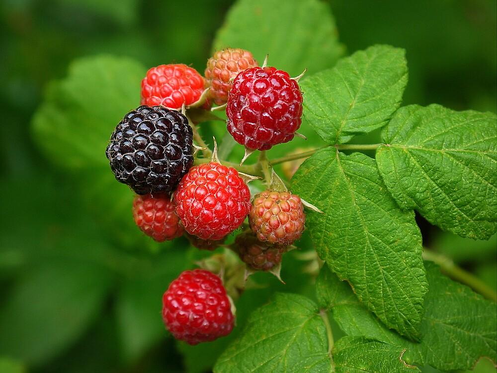 Mixed Berry by kkmarais