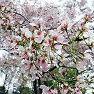 Cherry Blossom Festival  by Claudia J.