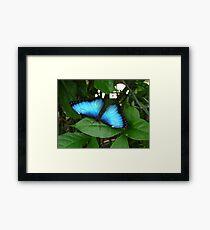 Blue Morpho #1. Framed Print