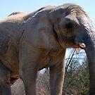 Elephant by Niamh Harmon
