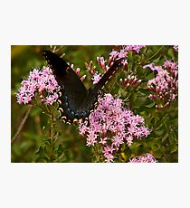 Orchard Swallowtail. Photographic Print