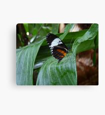 Sapho Longwing #2. Canvas Print