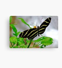 Zebra Longwing. Canvas Print
