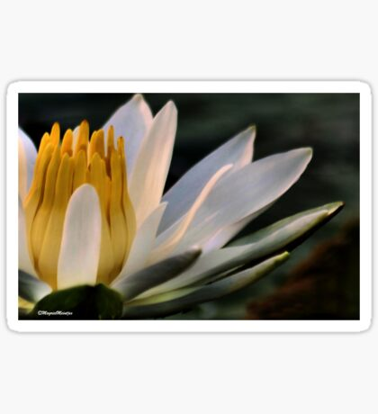 NYMPHAEACEAE – Waterlily Family (My fave sunset White Waterlily) Sticker