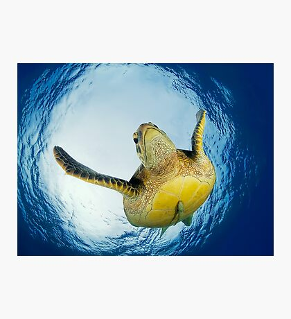 Green Turtle Photographic Print