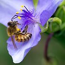 Honey Bee by Neal Petts