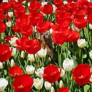 Groundhog Day! Vibrant Red & White Tulip Flower Bed on Parliament Hill, Canada by Chantal PhotoPix