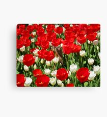 Groundhog Day! Vibrant Red & White Tulip Flower Bed on Parliament Hill, Canada Canvas Print