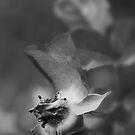Rose One by Dragomir Vukovic