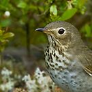 Swainson's Thrush Portrait by Wayne Wood