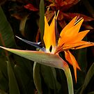 Another Bird Of Paradise by Hapatography