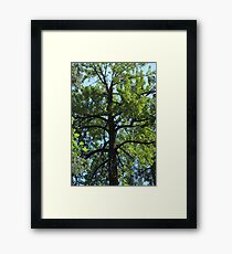 Balsam Poplar Crown Framed Print