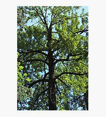 Balsam Poplar Crown Photographic Print